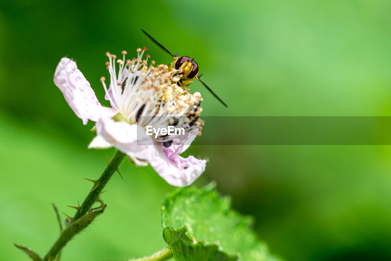 invertebrate, insect, animal themes, animal wildlife, animal, animals in the wild, one animal, flowering plant, plant, flower, fragility, vulnerability, beauty in nature, close-up, freshness, growth, petal, selective focus, flower head, nature, no people, pollination, animal wing, butterfly - insect