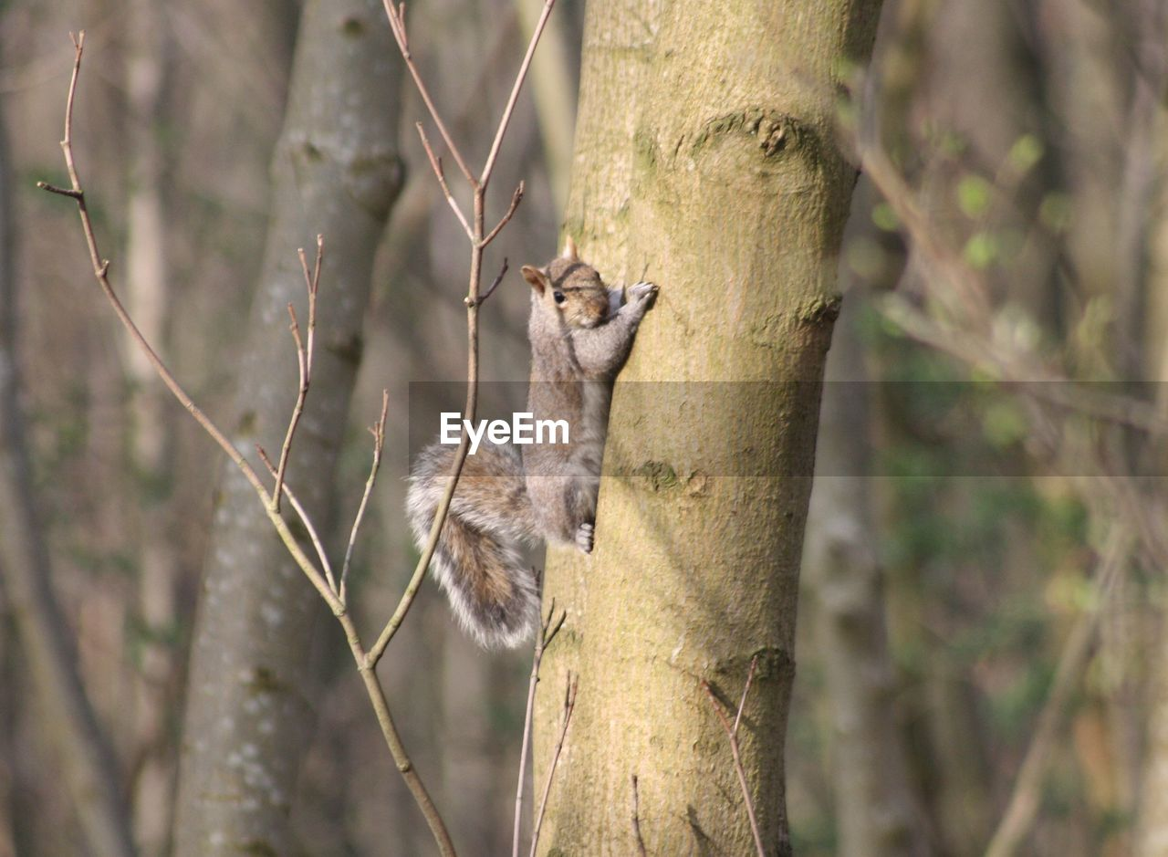 tree, animal, animal themes, mammal, animals in the wild, one animal, animal wildlife, plant, trunk, vertebrate, tree trunk, focus on foreground, no people, squirrel, rodent, branch, nature, day, climbing, outdoors