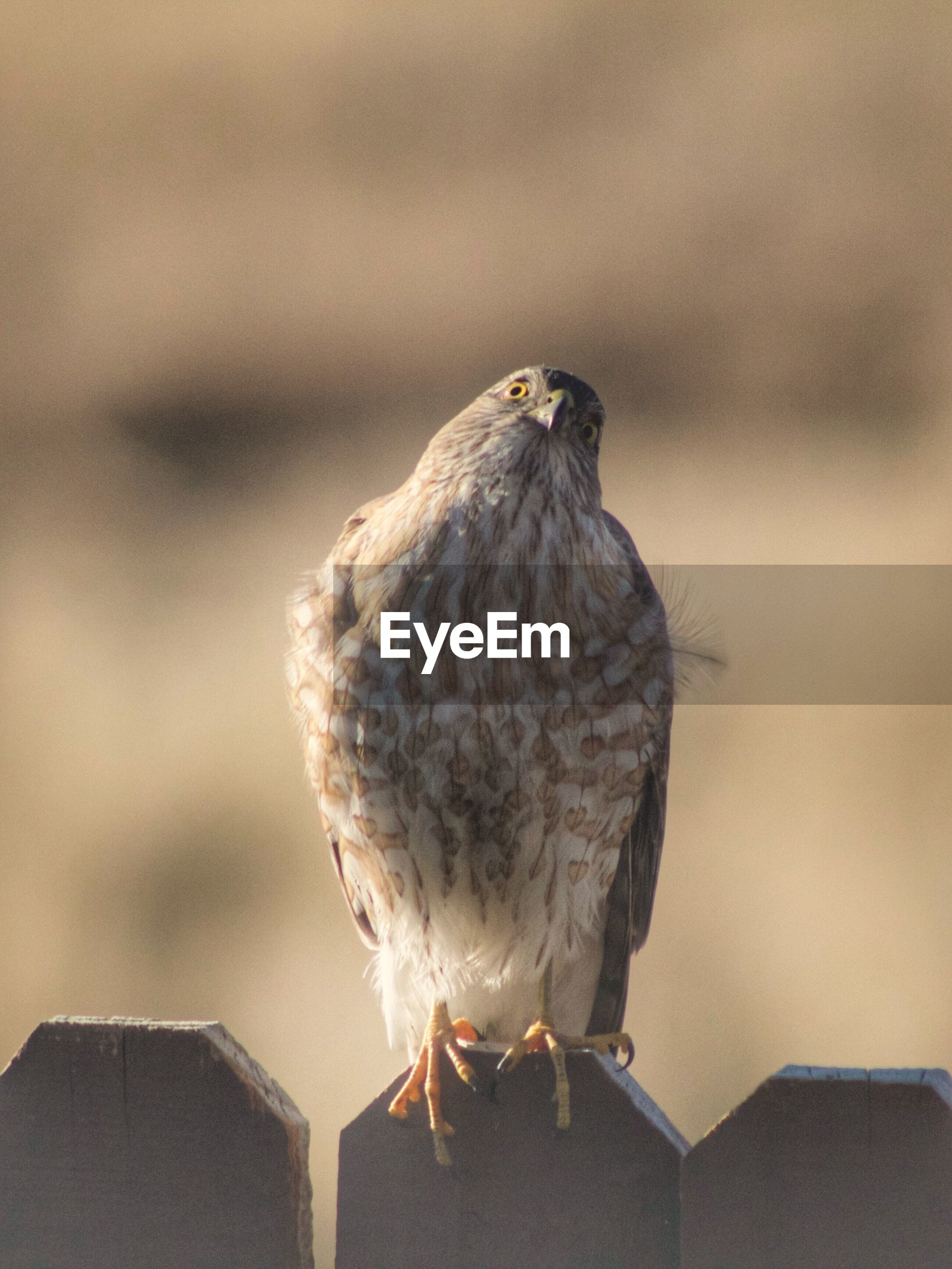 bird, vertebrate, animal wildlife, one animal, animals in the wild, perching, focus on foreground, close-up, no people, day, nature, bird of prey, outdoors, roof, wood - material, sunlight, looking