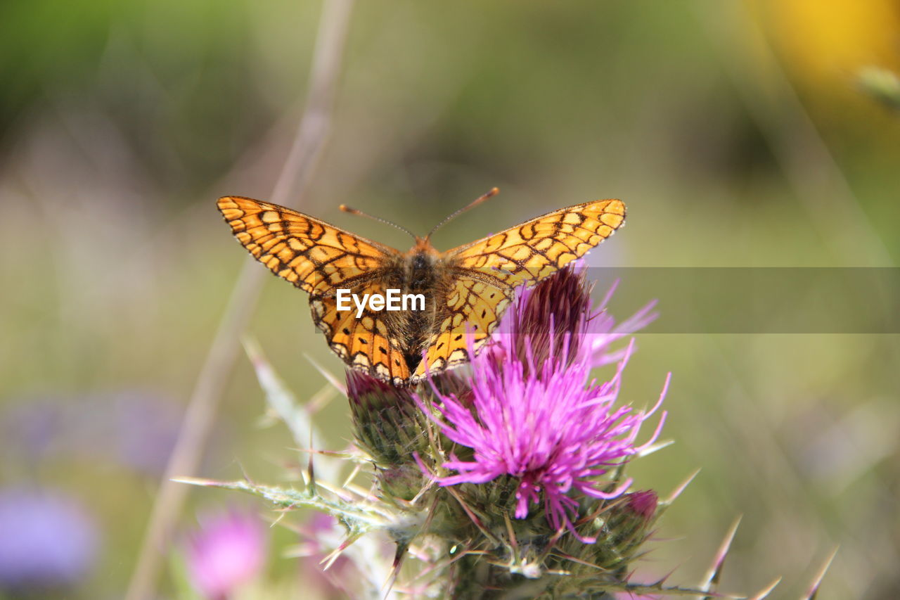 animal wing, insect, animal themes, animal wildlife, animal, one animal, butterfly - insect, beauty in nature, flower, invertebrate, animals in the wild, flowering plant, vulnerability, plant, fragility, close-up, nature, pollination, no people, growth, flower head, purple, outdoors, butterfly
