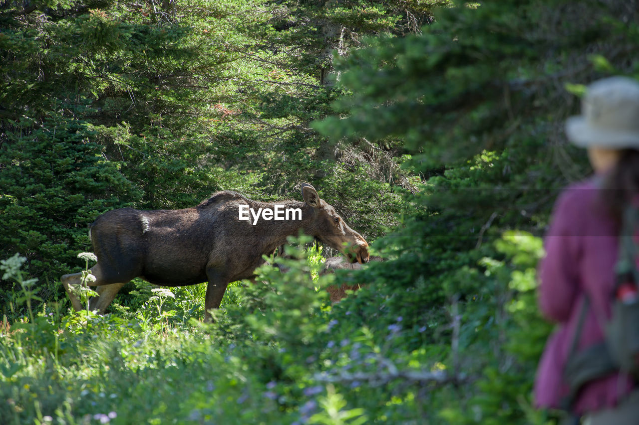 Rear View Of Mature Woman Looking At Moose While Standing In Forest