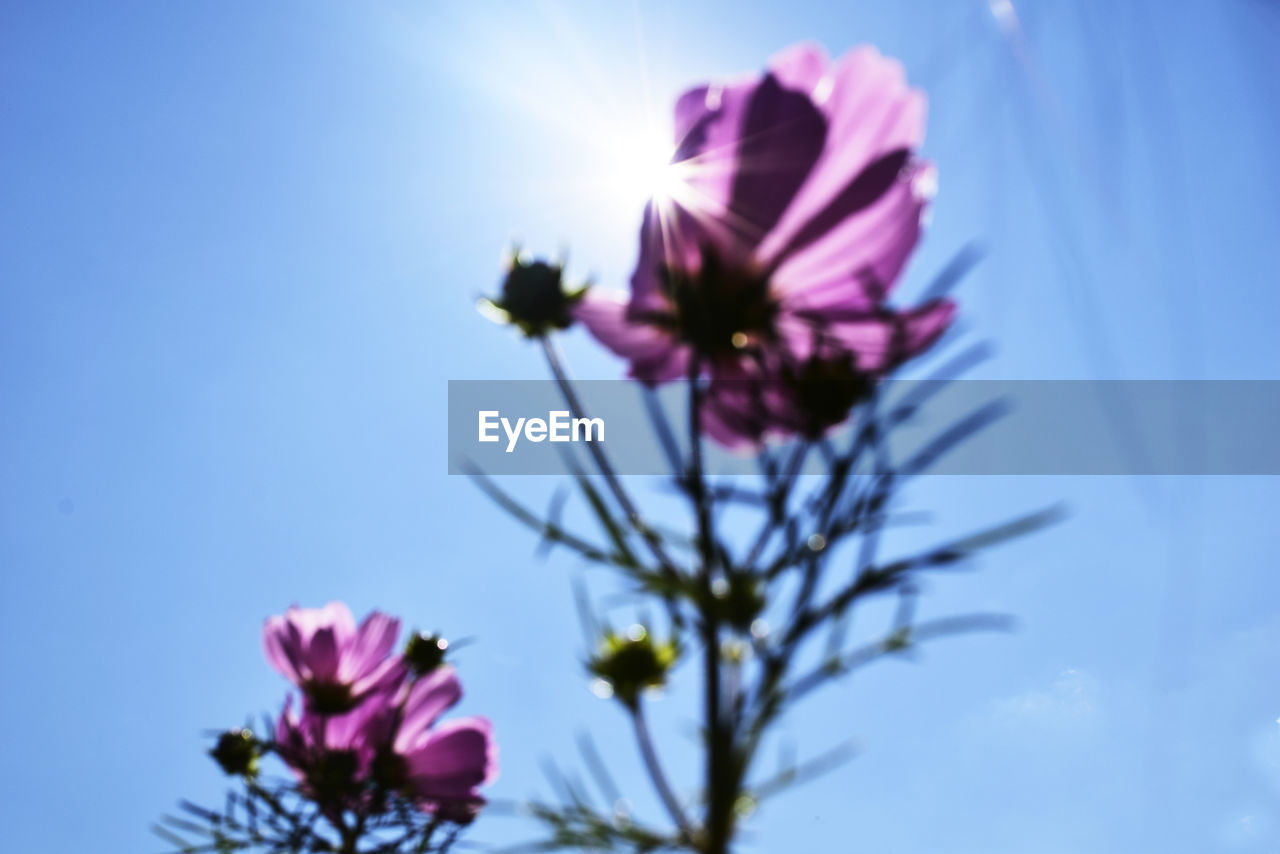 flower, fragility, beauty in nature, petal, nature, freshness, flower head, growth, low angle view, pink color, sky, no people, plant, blooming, outdoors, day, cosmos flower, close-up, blue, clear sky, tree