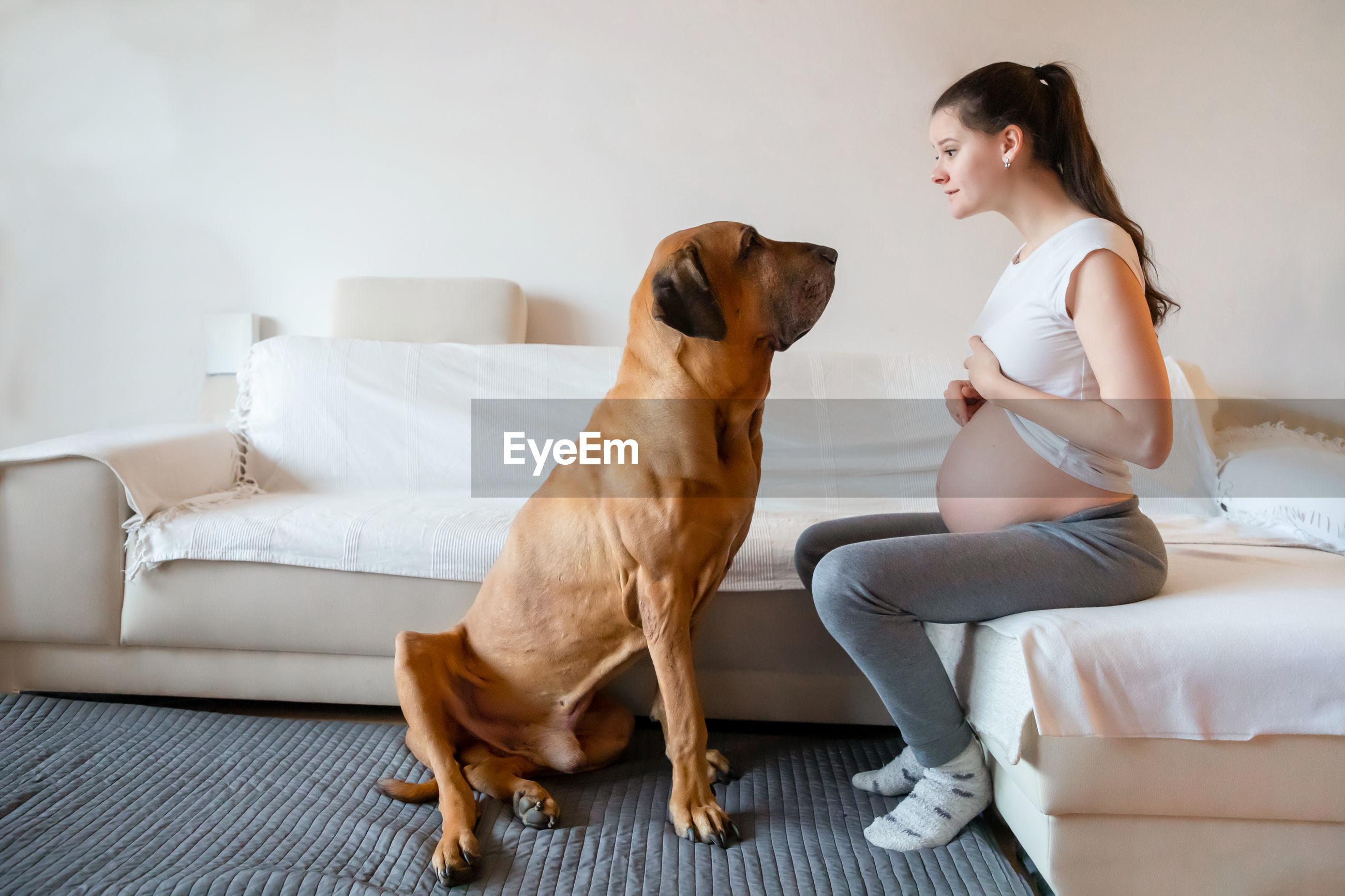 Dog looking at pregnant woman sitting on sofa at home
