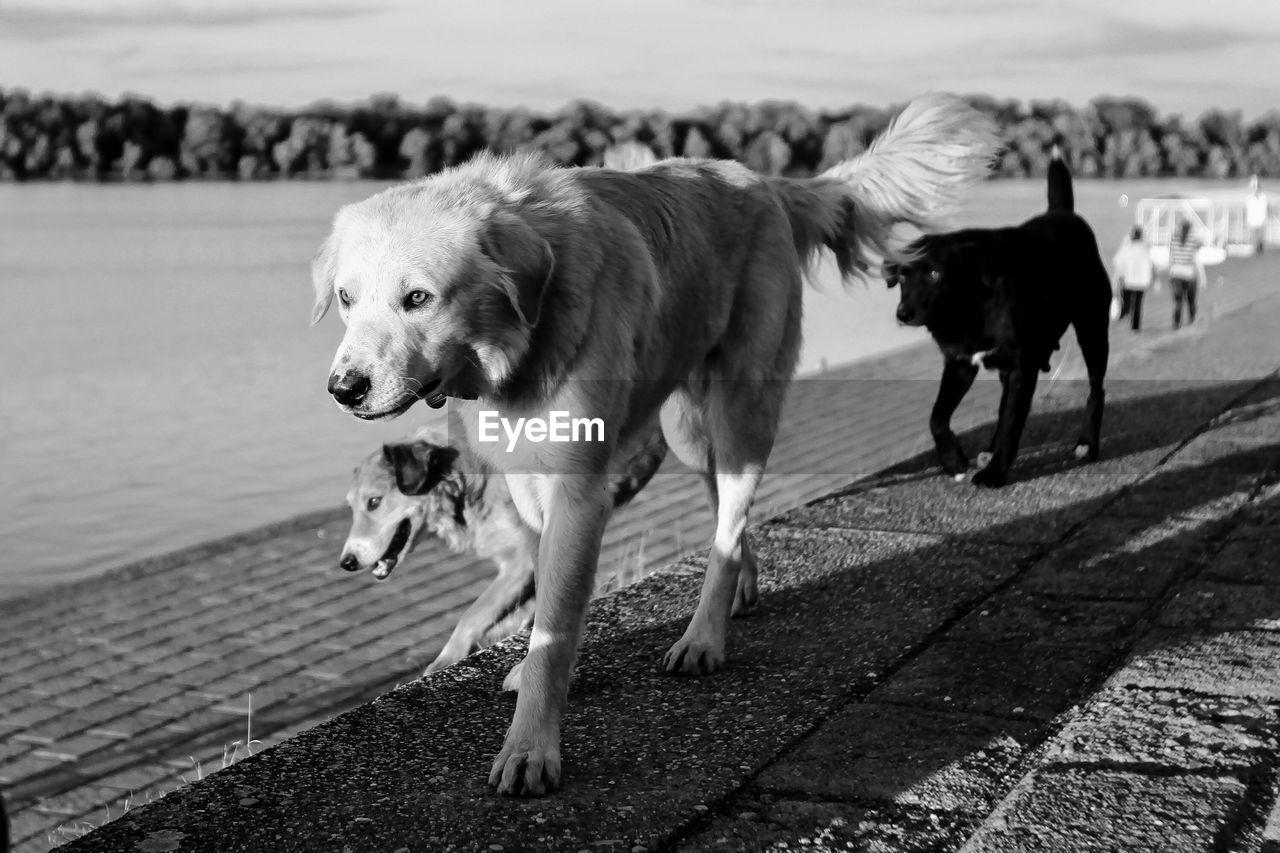 Dogs Walking On Street