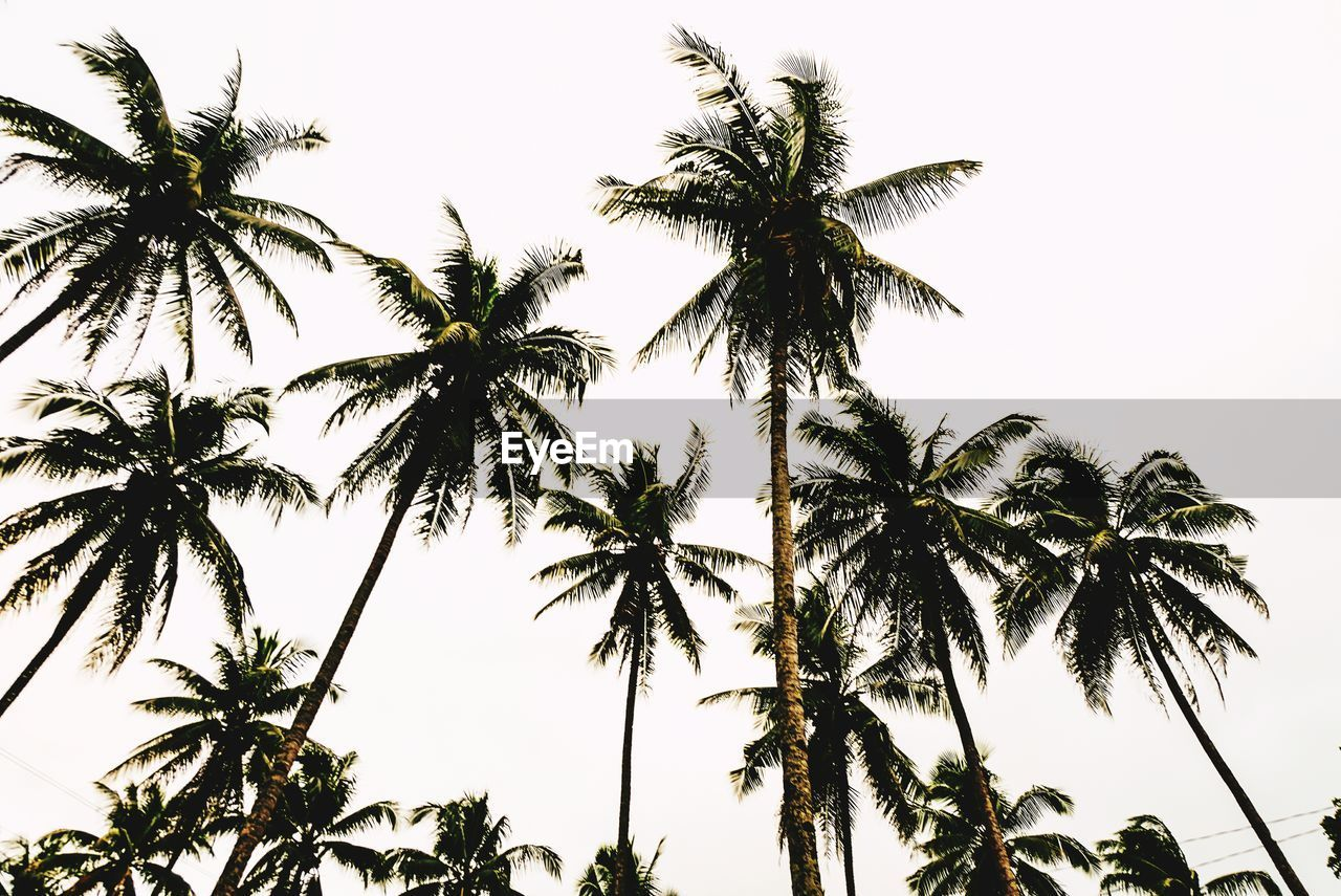 palm tree, tree, low angle view, nature, clear sky, growth, beauty in nature, tree trunk, no people, sky, outdoors, day, scenics