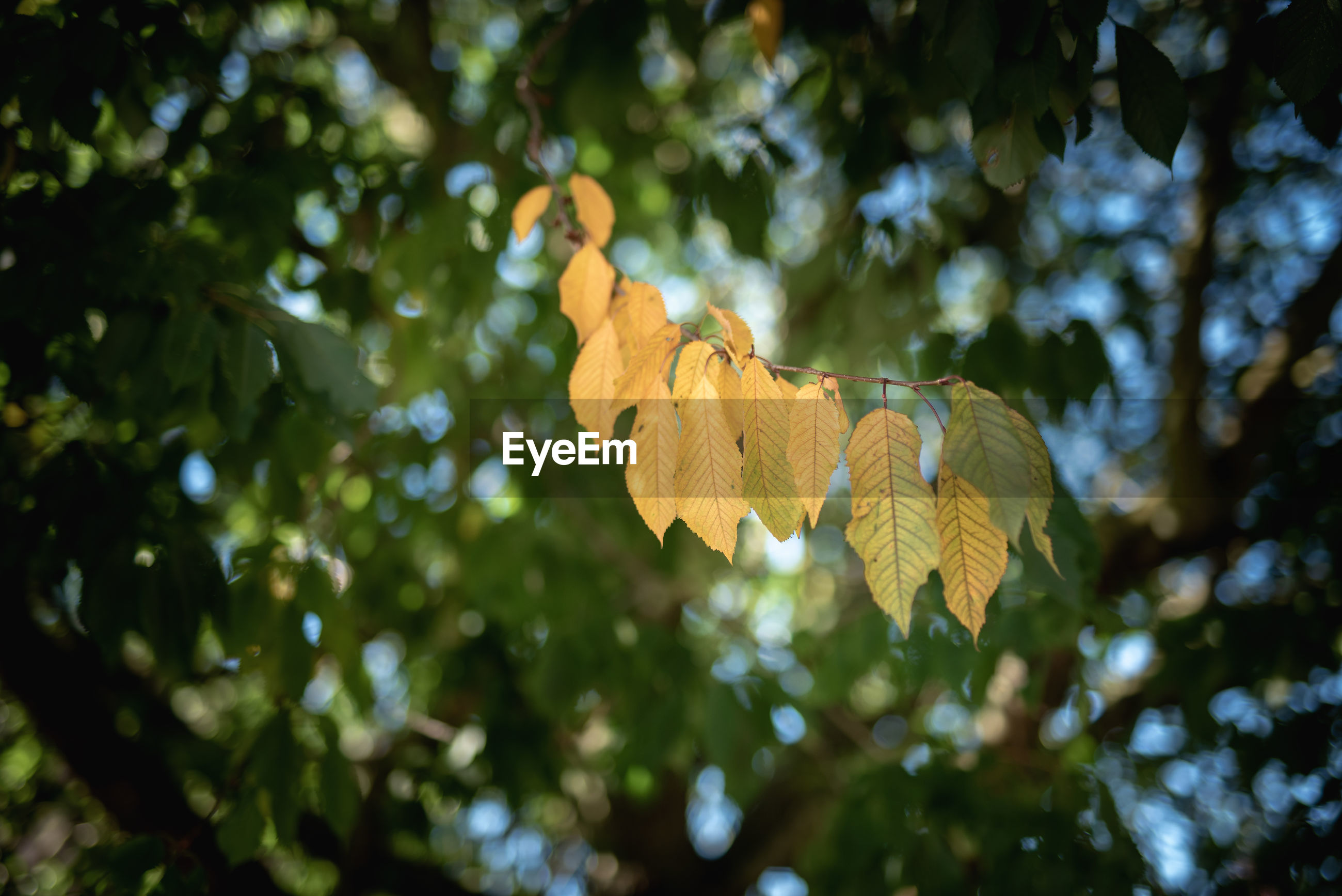 LOW ANGLE VIEW OF YELLOW LEAVES AGAINST TREE
