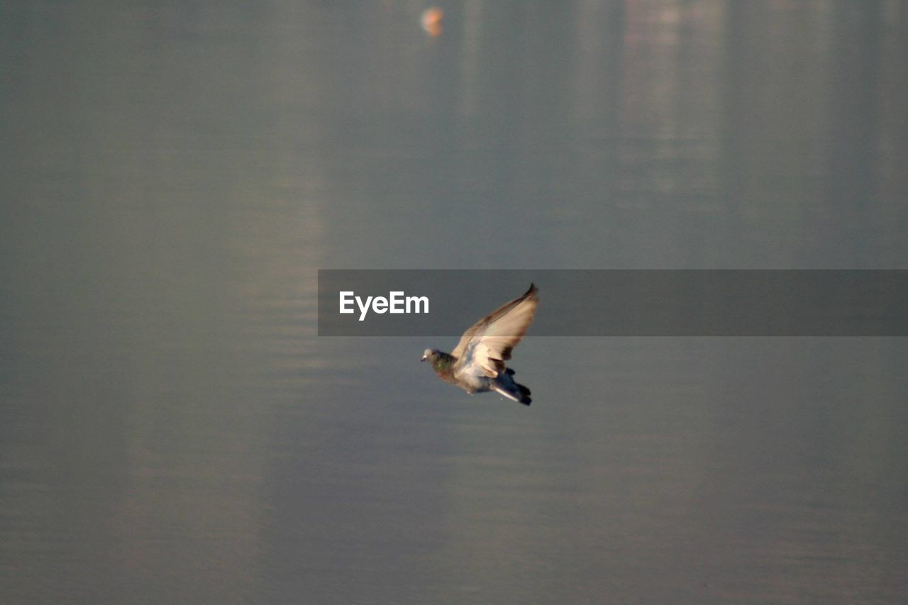 vertebrate, animal themes, animal, animals in the wild, one animal, animal wildlife, bird, flying, spread wings, no people, mid-air, water, motion, waterfront, nature, day, outdoors, lake, blurred motion, seagull