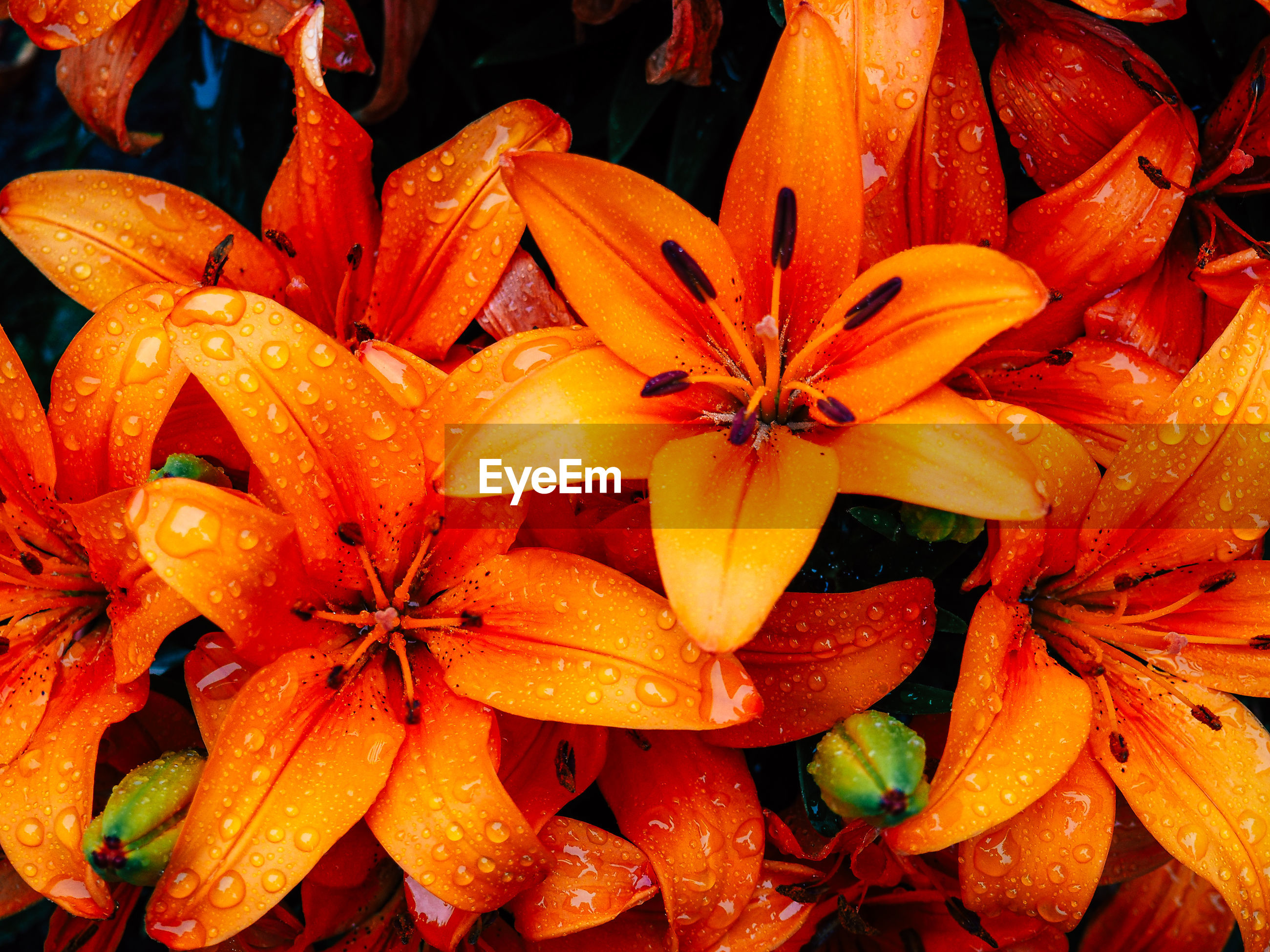 High angle view of wet orange lilies