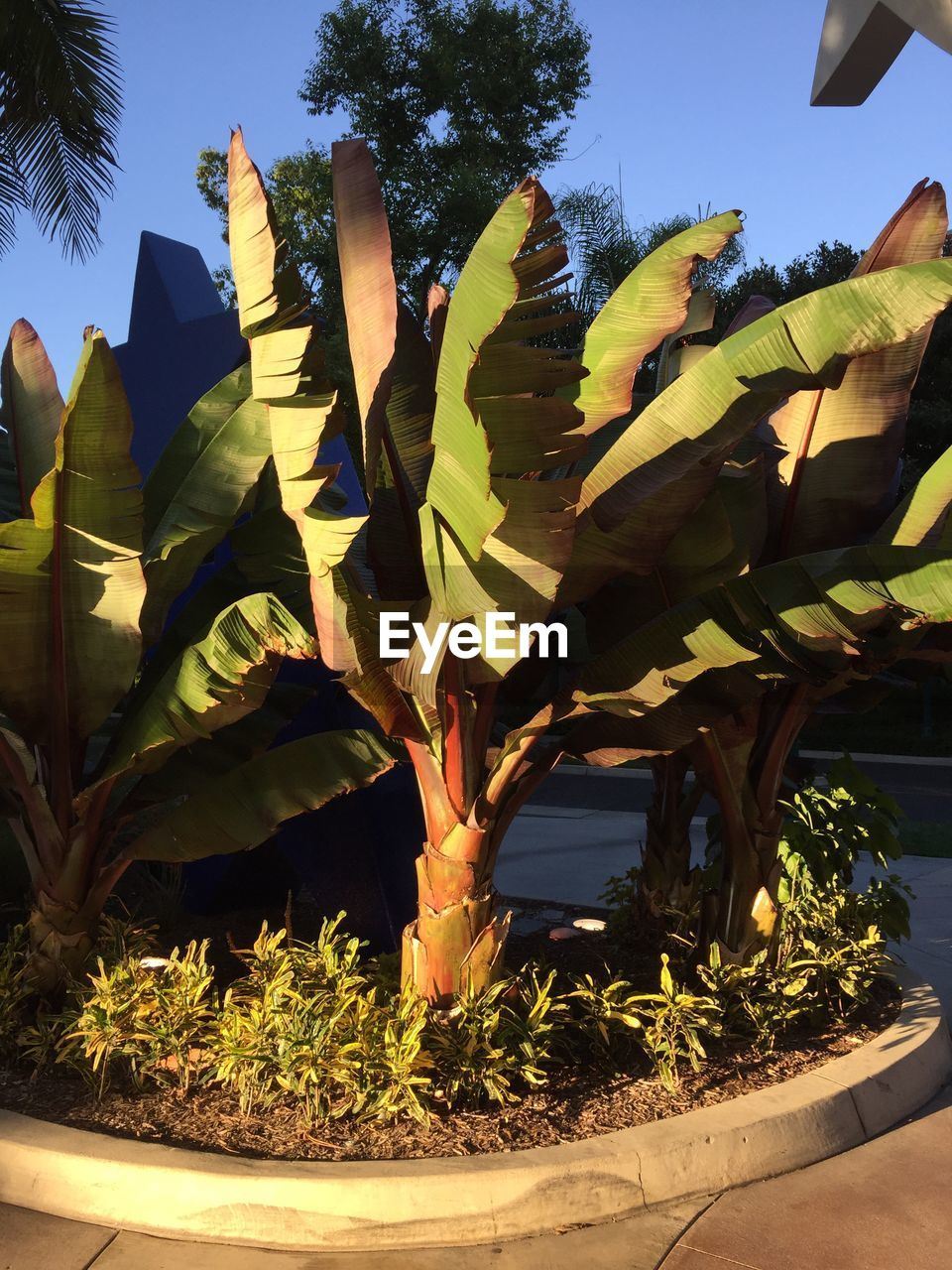 growth, banana tree, outdoors, nature, tree, day, plant, sunlight, sky, no people, beauty in nature, scenics, palm tree, clear sky