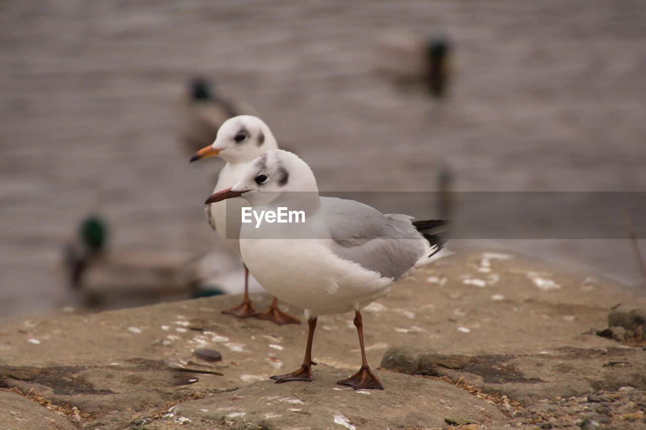 bird, animal themes, animal, vertebrate, animals in the wild, focus on foreground, animal wildlife, seagull, day, no people, nature, water, group of animals, sea bird, white color, close-up, perching, beach, outdoors