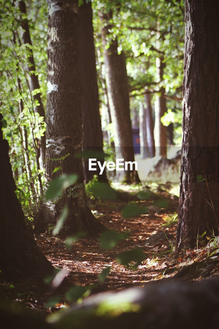 tree, trunk, tree trunk, forest, plant, land, nature, growth, woodland, sunlight, tranquility, beauty in nature, day, no people, outdoors, selective focus, focus on foreground, scenics - nature, non-urban scene, idyllic