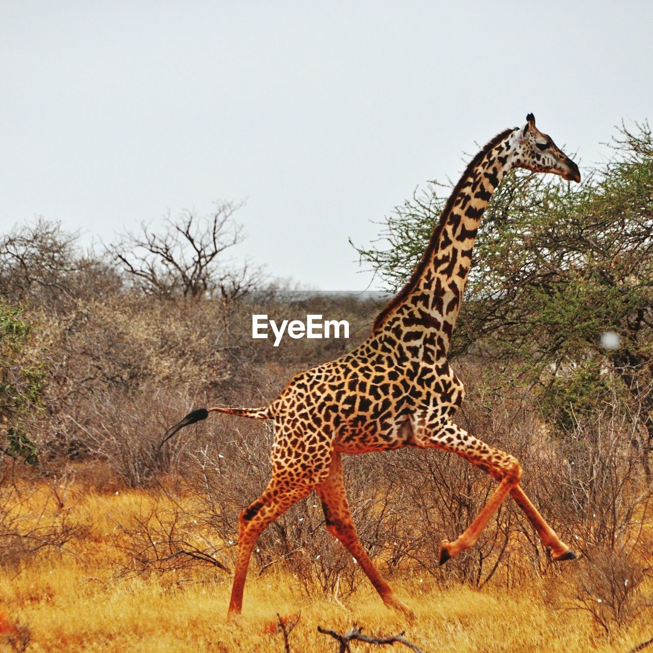 Giraffe Running On Field Against Clear Sky