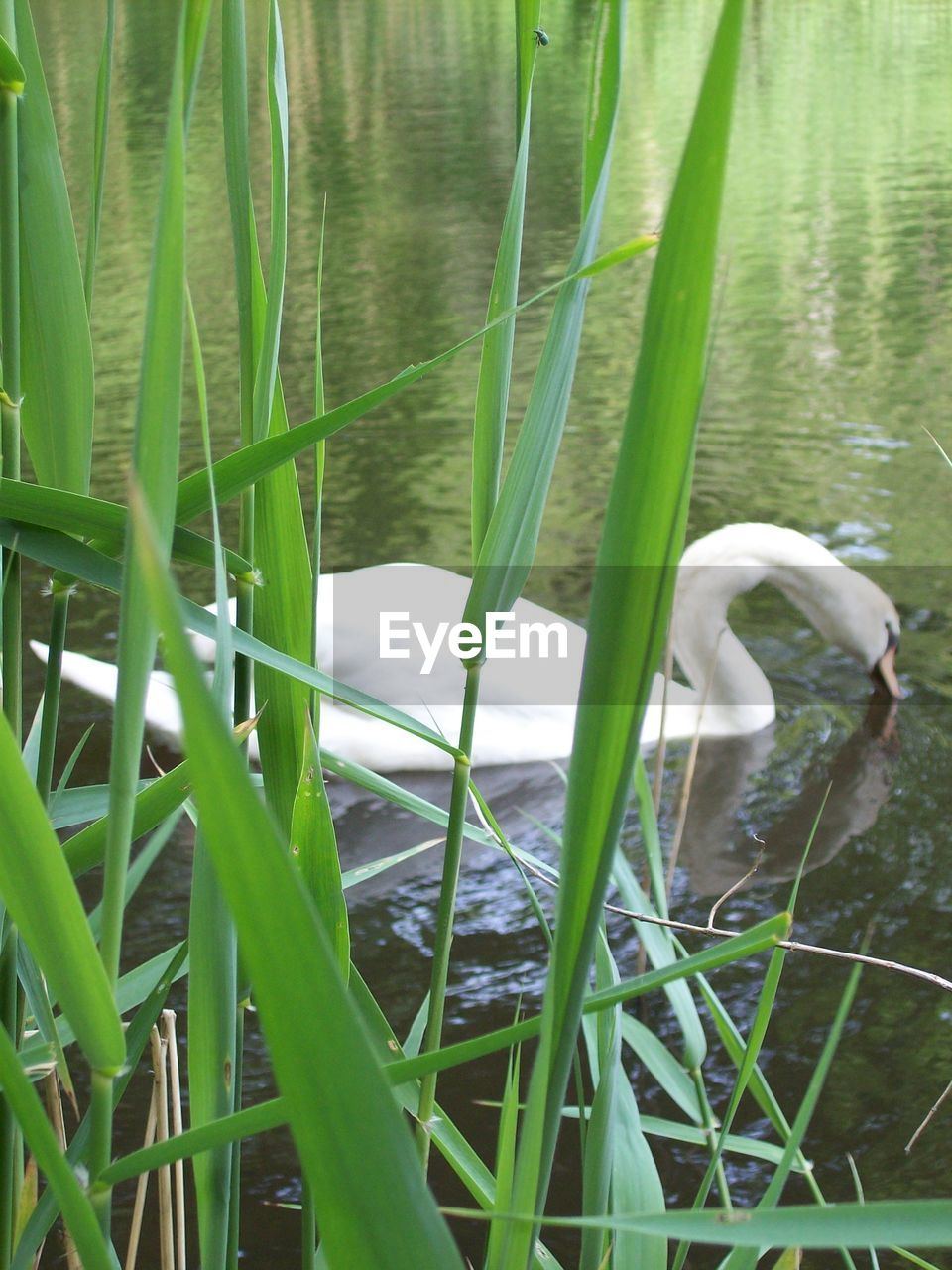 plant, green color, water, lake, grass, growth, nature, vertebrate, animal themes, animal, animals in the wild, no people, day, animal wildlife, bird, one animal, beauty in nature, white color, swan, outdoors, blade of grass, floating on water