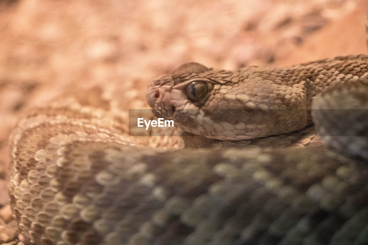 one animal, animal themes, reptile, animal, animal wildlife, animals in the wild, vertebrate, snake, close-up, no people, animal body part, selective focus, animal head, day, animal scale, nature, focus on foreground, pattern, animal skin, outdoors, poisonous, animal eye