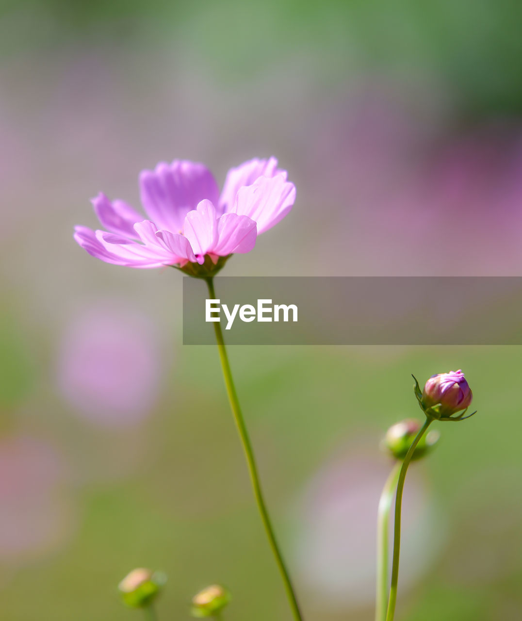 flowering plant, flower, fragility, vulnerability, beauty in nature, freshness, plant, pink color, close-up, petal, growth, inflorescence, flower head, focus on foreground, plant stem, nature, no people, day, selective focus, outdoors, purple, sepal