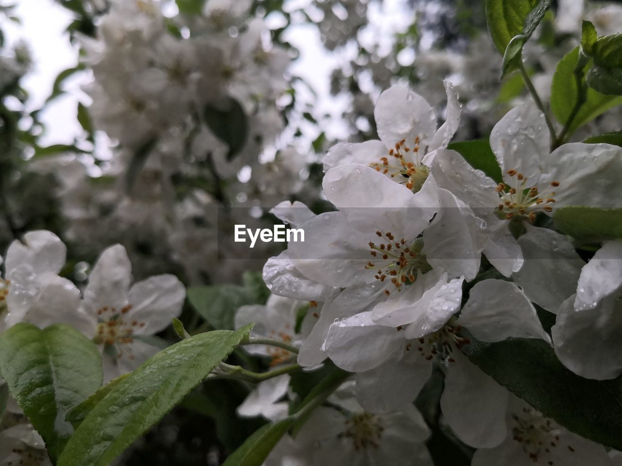 flowering plant, growth, flower, plant, fragility, vulnerability, beauty in nature, freshness, petal, close-up, blossom, white color, inflorescence, flower head, nature, plant part, springtime, day, focus on foreground, pollen, no people, outdoors, cherry blossom, spring, cherry tree, bunch of flowers