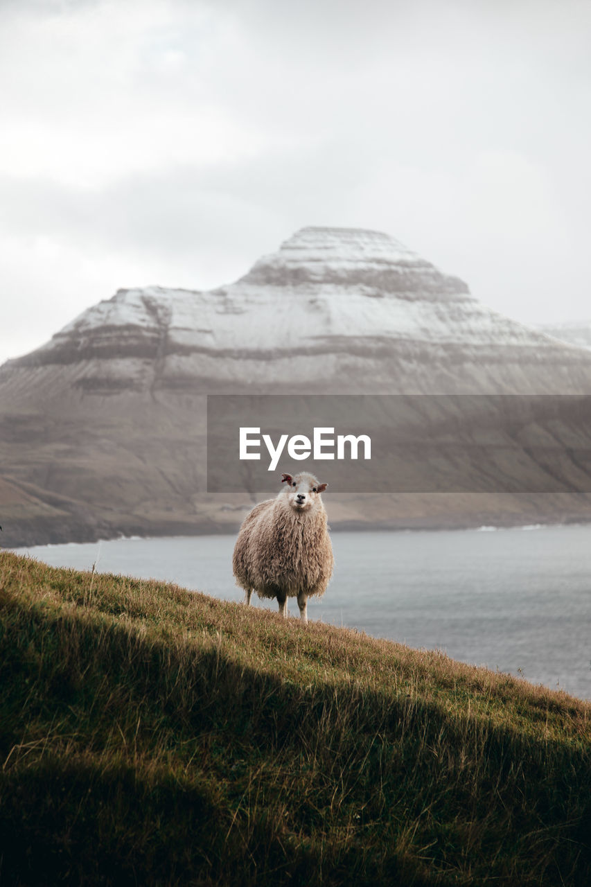 Close-up of sheep standing on field against sky