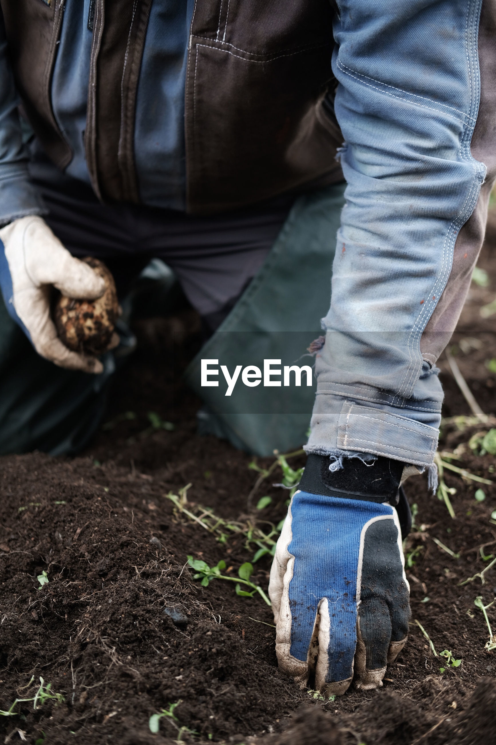 Low section of man harvesting potato on field