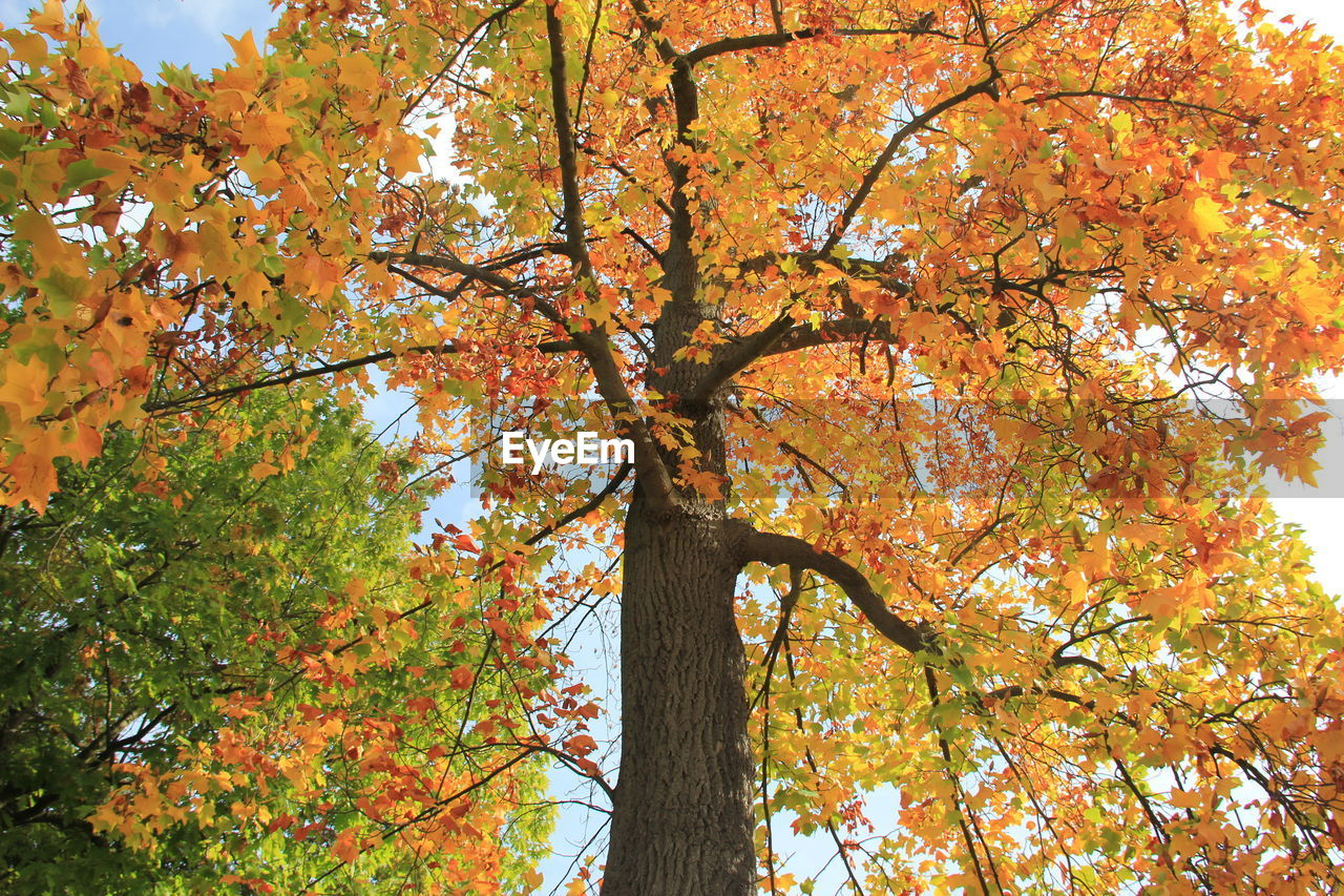 tree, autumn, plant, change, branch, orange color, low angle view, tree trunk, beauty in nature, nature, trunk, growth, day, leaf, maple tree, plant part, no people, outdoors, tranquility, maple leaf, autumn collection, natural condition, fall, tree canopy