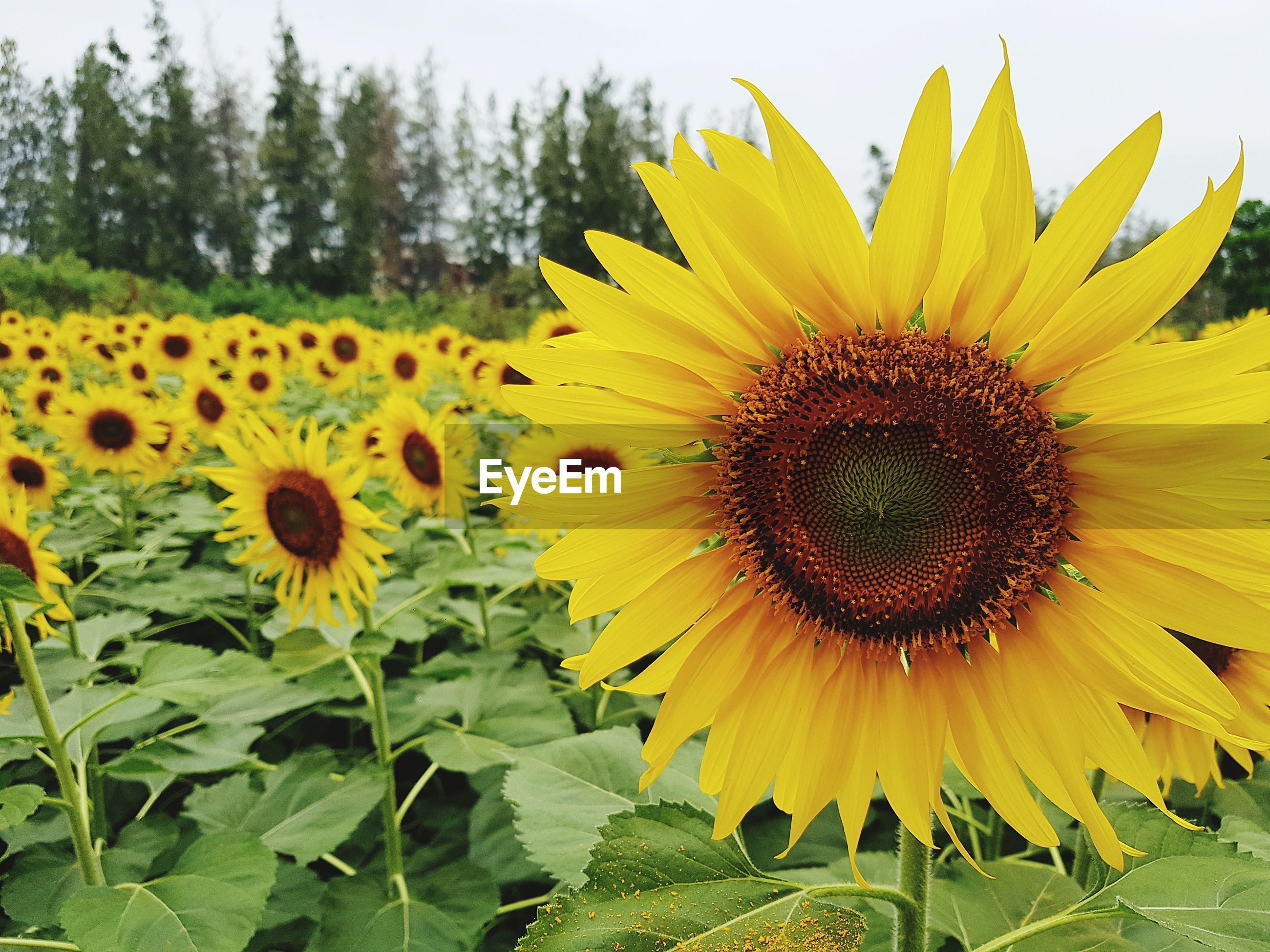 CLOSE-UP OF YELLOW SUNFLOWERS ON FLOWERING PLANT