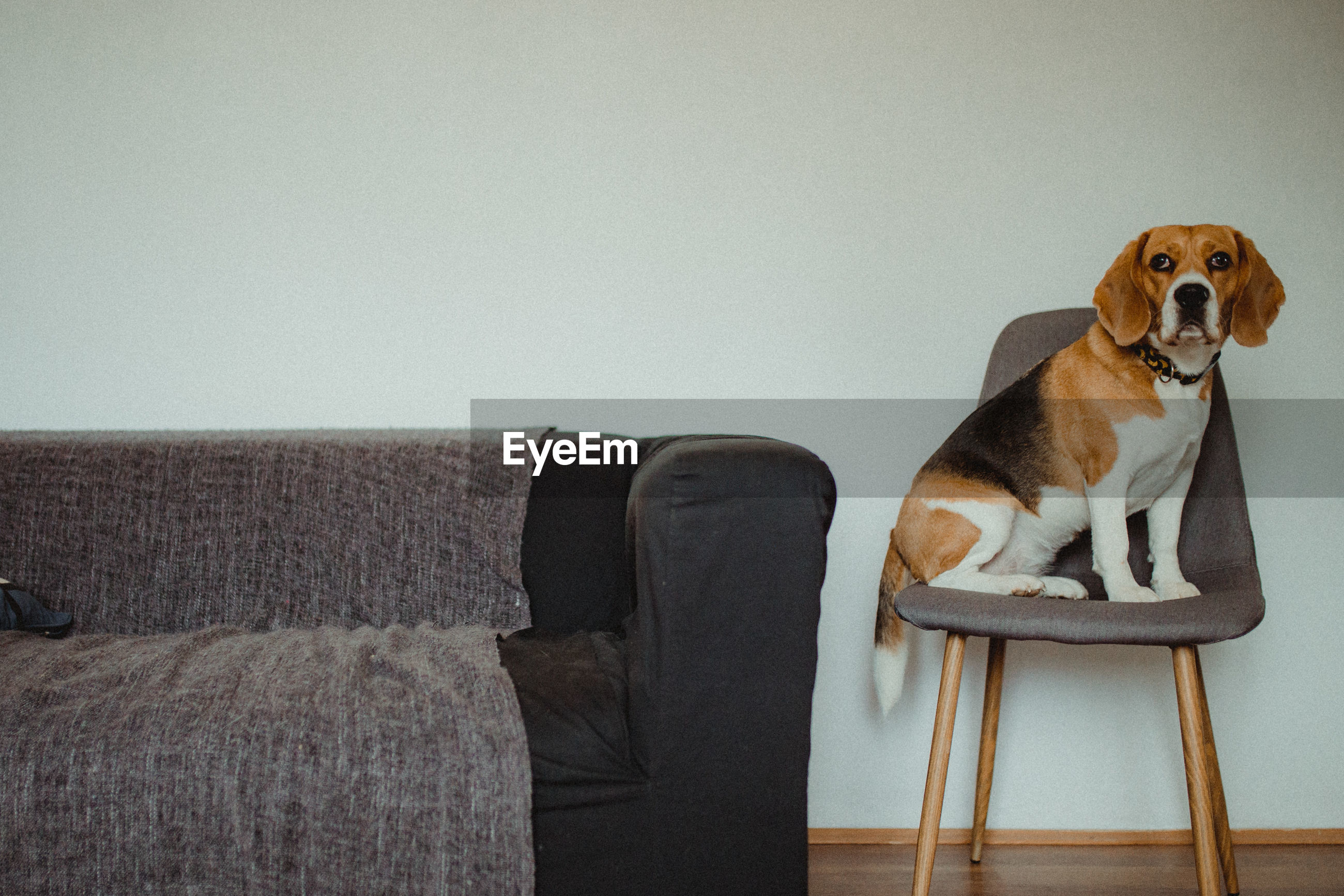 Dog looking away while sitting on sofa