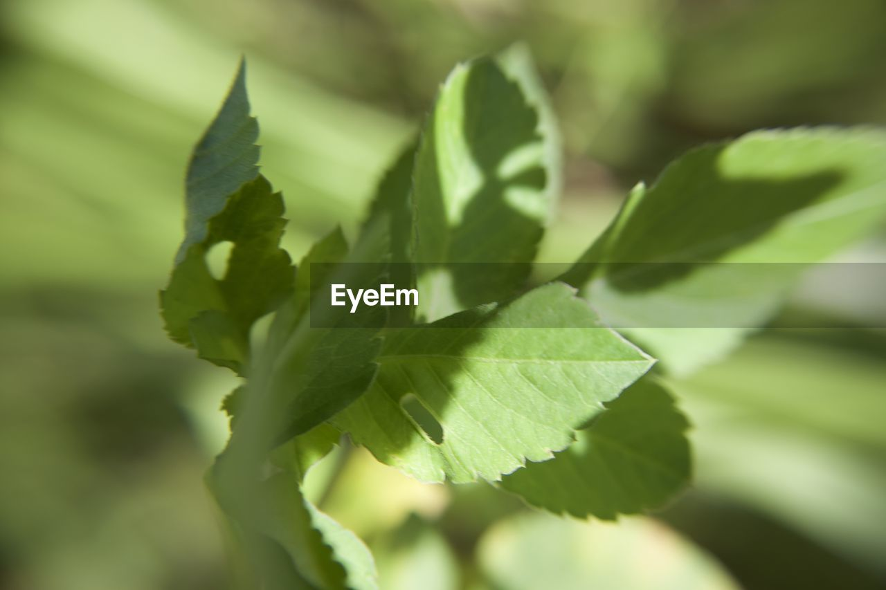 green color, plant part, leaf, close-up, plant, growth, no people, selective focus, beauty in nature, nature, day, focus on foreground, freshness, food and drink, herb, leaf vein, food, outdoors, leaves, tranquility