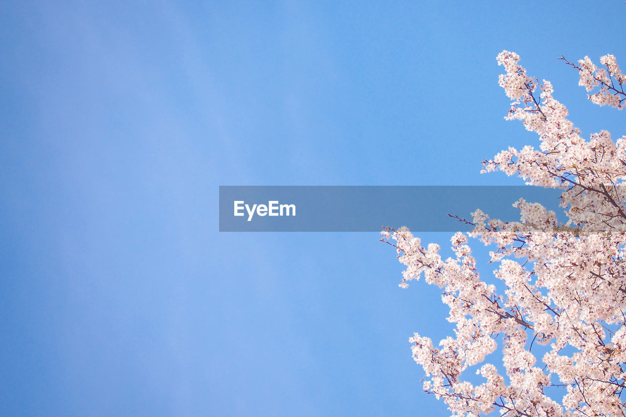 sky, low angle view, flowering plant, flower, beauty in nature, nature, blue, day, plant, no people, blossom, fragility, tree, growth, freshness, branch, cherry blossom, copy space, springtime, clear sky, outdoors, cherry tree