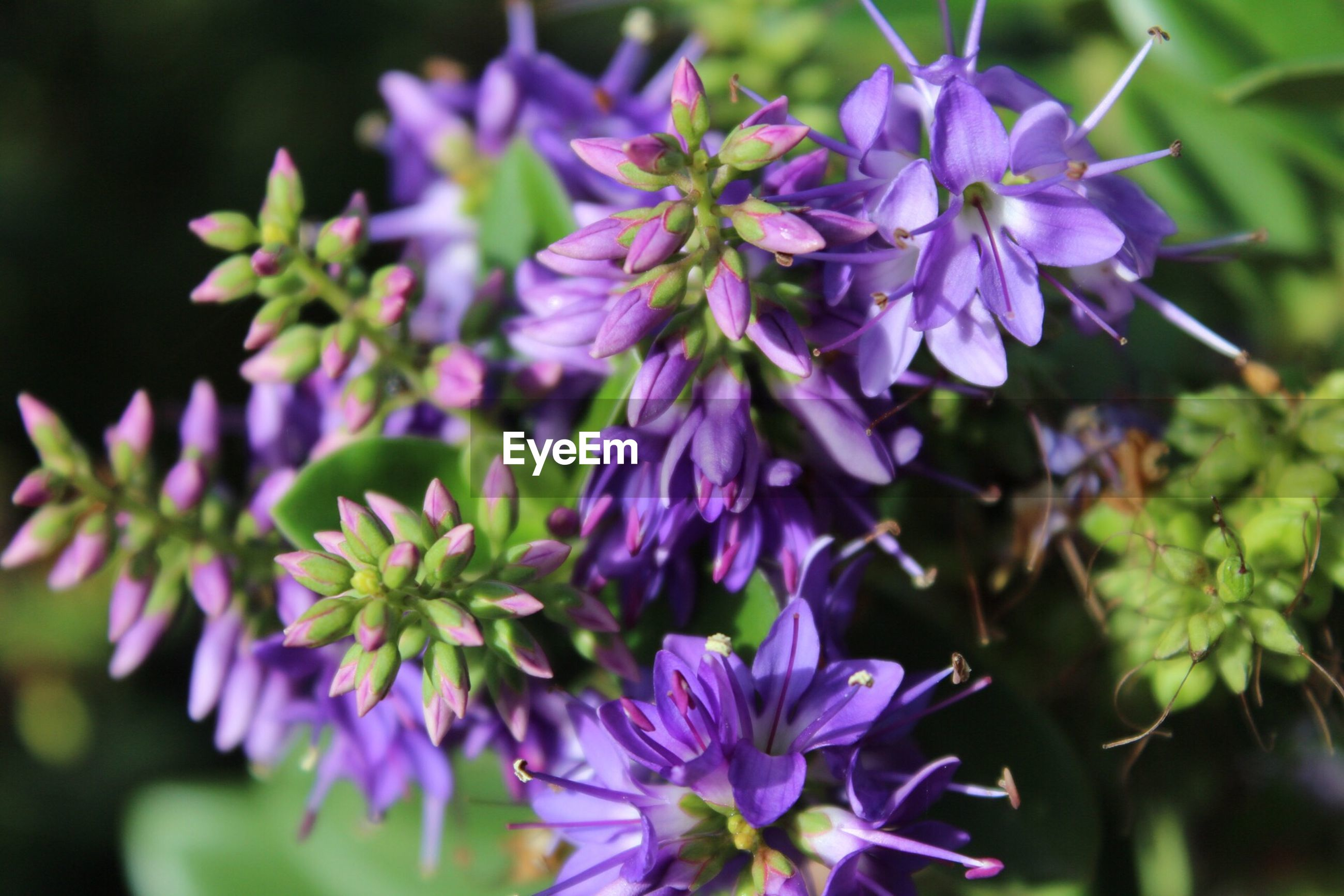 CLOSE-UP OF PURPLE FLOWERING PLANT IN BLOOM
