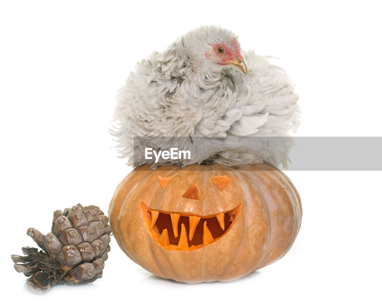 Close-up of hen on pumpkin by pine cone against white background