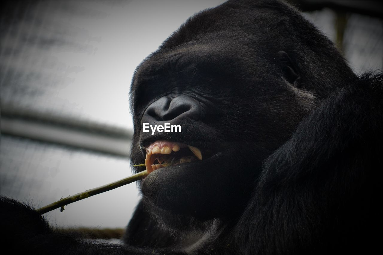 Low angle view of gorilla with stick