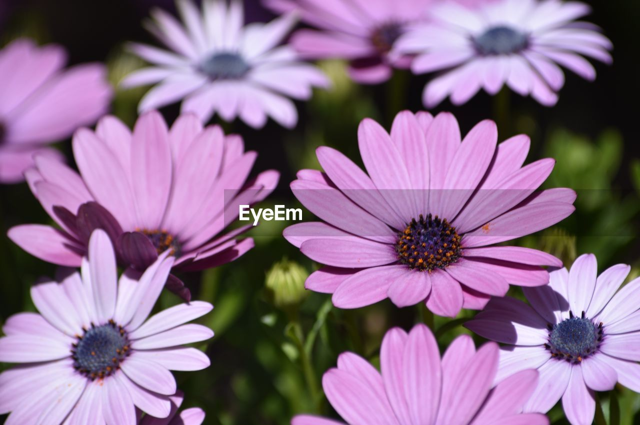 flowering plant, flower, fragility, vulnerability, petal, freshness, flower head, growth, inflorescence, plant, beauty in nature, osteospermum, close-up, pollen, focus on foreground, nature, no people, pink color, day, purple