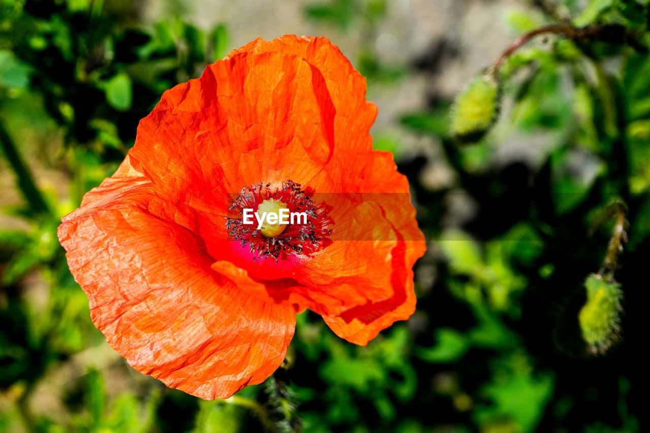 flowering plant, flower, petal, flower head, inflorescence, beauty in nature, plant, vulnerability, fragility, freshness, close-up, growth, focus on foreground, orange color, nature, pollen, poppy, no people, day, orange