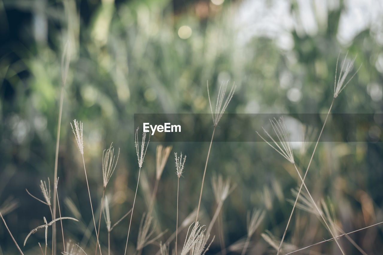 growth, plant, beauty in nature, close-up, nature, focus on foreground, selective focus, no people, day, tranquility, field, land, green color, outdoors, grass, crop, freshness, agriculture, blade of grass, fragility