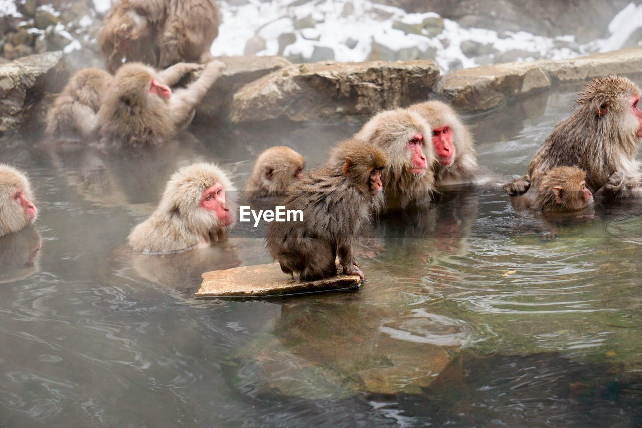 High angle view of monkey swimming in hot spring