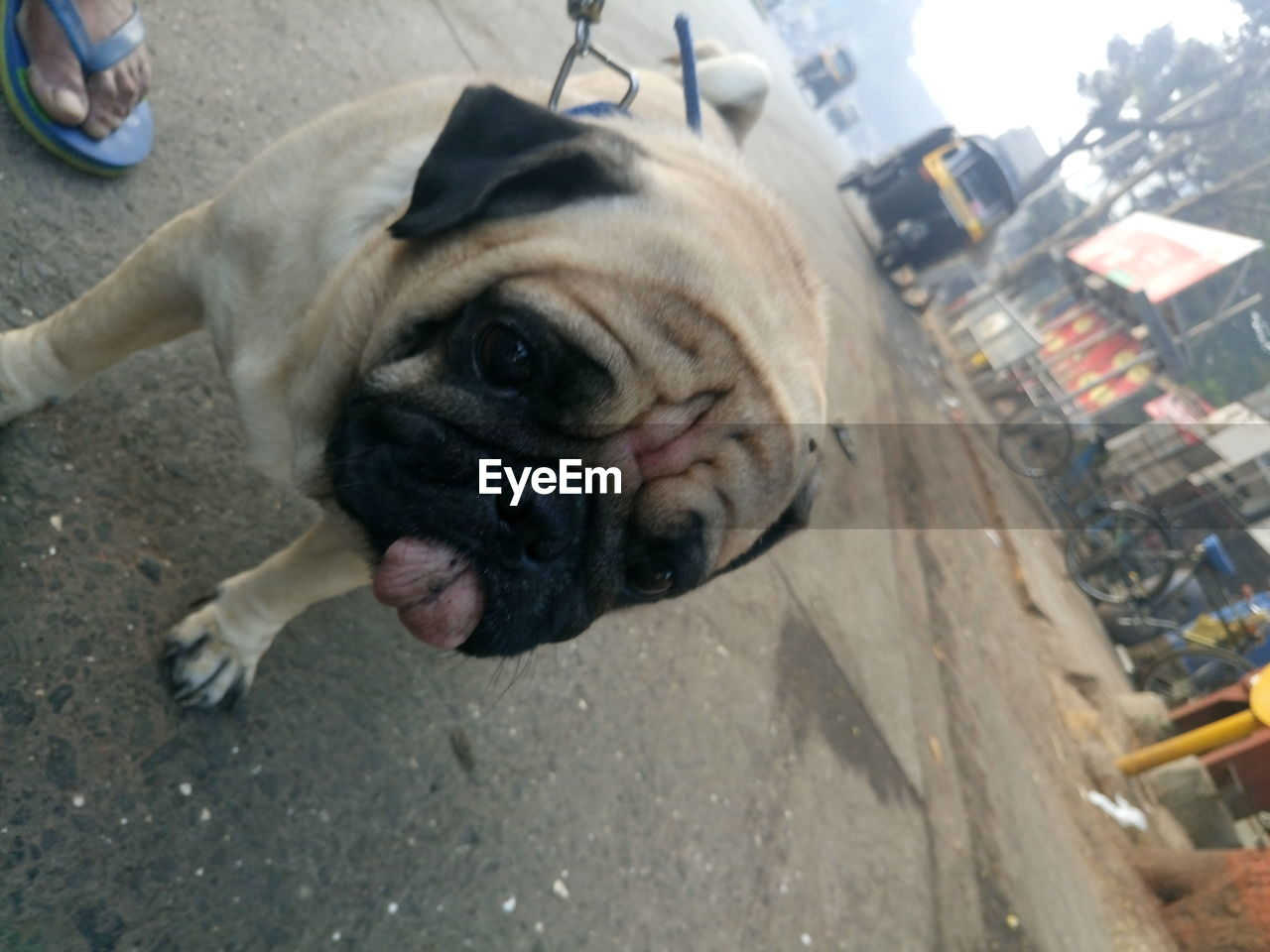 dog, one animal, mammal, pug, pets, domestic animals, animal themes, day, portrait, outdoors, no people, close-up