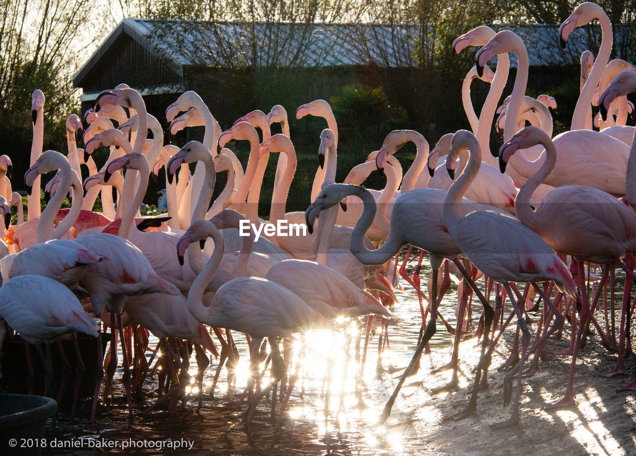 animals in the wild, animal themes, group of animals, animal wildlife, animal, vertebrate, large group of animals, flamingo, sunlight, bird, day, nature, water, no people, lake, beauty in nature, zoology, flock of birds, standing, outdoors, animal neck, beak