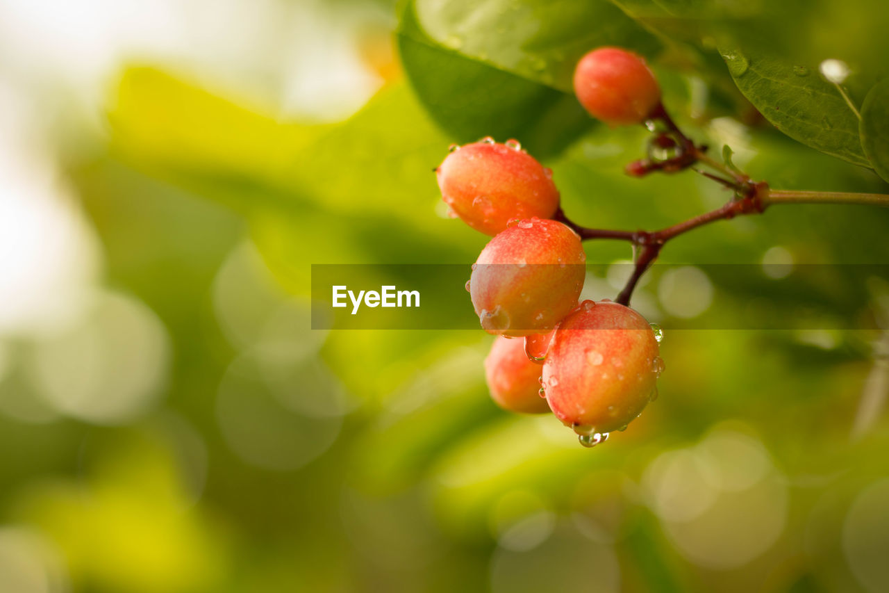 growth, fruit, freshness, food, healthy eating, food and drink, plant, red, close-up, nature, focus on foreground, beauty in nature, no people, drop, wet, berry fruit, day, green color, water, outdoors, ripe, raindrop, dew