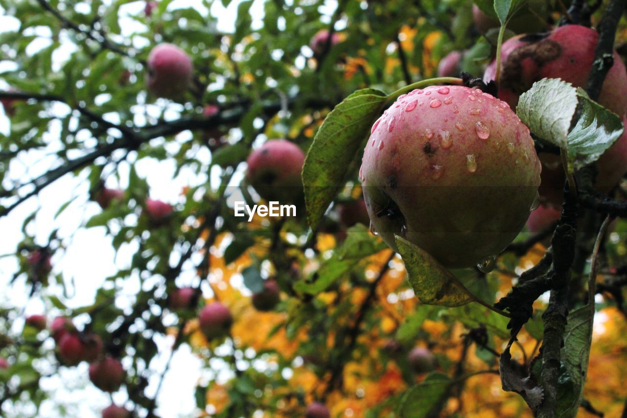 fruit, food and drink, tree, food, healthy eating, freshness, growth, apple - fruit, nature, green color, no people, day, outdoors, rotten, focus on foreground, close-up, branch, pomegranate, beauty in nature