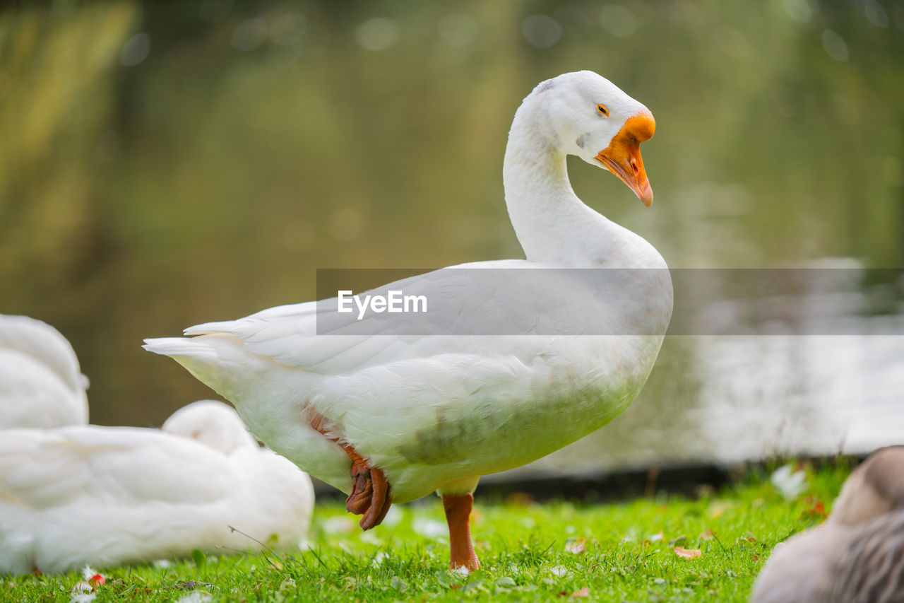 animal themes, animal, bird, vertebrate, animals in the wild, animal wildlife, focus on foreground, nature, group of animals, day, white color, two animals, no people, grass, green color, field, poultry, outdoors, goose
