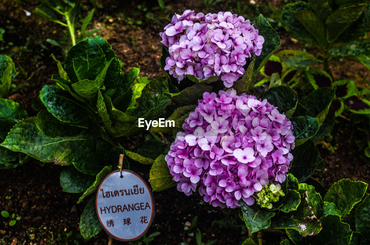 plant, flower, flowering plant, leaf, beauty in nature, freshness, plant part, growth, vulnerability, nature, close-up, fragility, petal, no people, day, purple, green color, pink color, outdoors, hydrangea, flower head, bunch of flowers, lantana, lilac