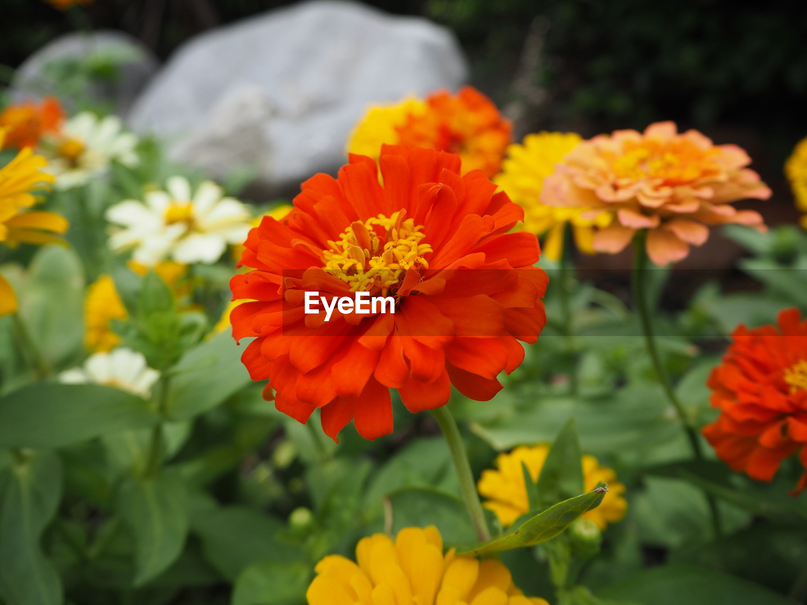 Close-up of orange marigold flowers