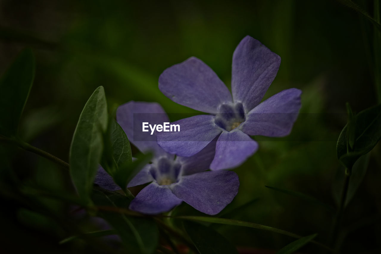 plant, beauty in nature, flowering plant, petal, flower, vulnerability, fragility, freshness, close-up, growth, flower head, inflorescence, no people, nature, leaf, plant part, purple, selective focus, outdoors, day