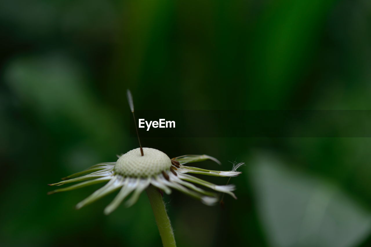 flower, plant, flowering plant, fragility, vulnerability, growth, beauty in nature, freshness, close-up, inflorescence, flower head, petal, focus on foreground, nature, selective focus, day, no people, pollen, plant stem, outdoors, softness, dandelion seed, sepal