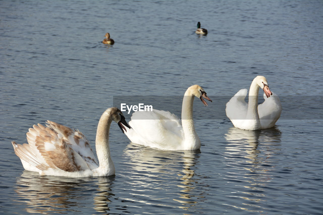 animals in the wild, bird, water, animal themes, lake, swimming, animal wildlife, swan, waterfront, nature, water bird, no people, day, togetherness, outdoors, beauty in nature, spread wings