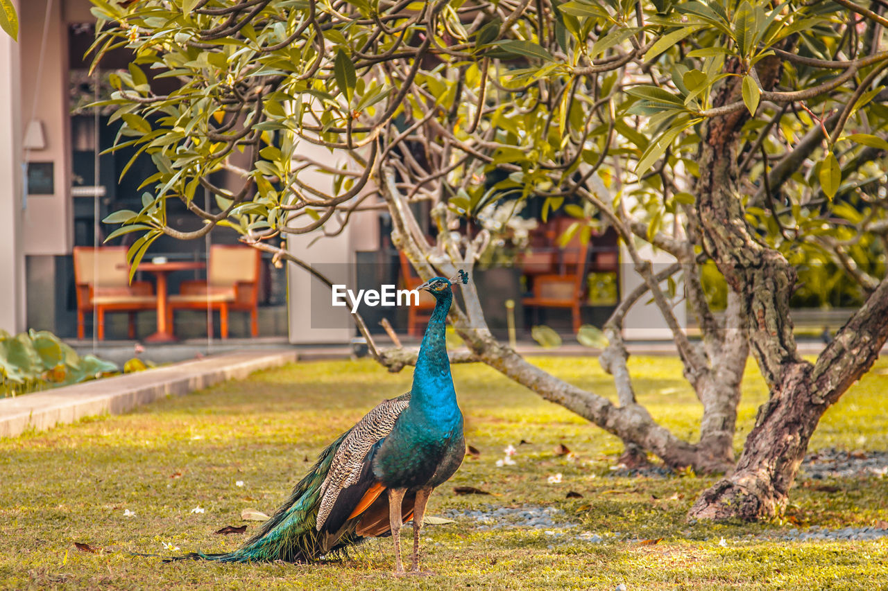 bird, animal themes, animal, one animal, vertebrate, animals in the wild, animal wildlife, plant, tree, peacock, focus on foreground, day, nature, green color, no people, branch, architecture, outdoors, perching, building exterior