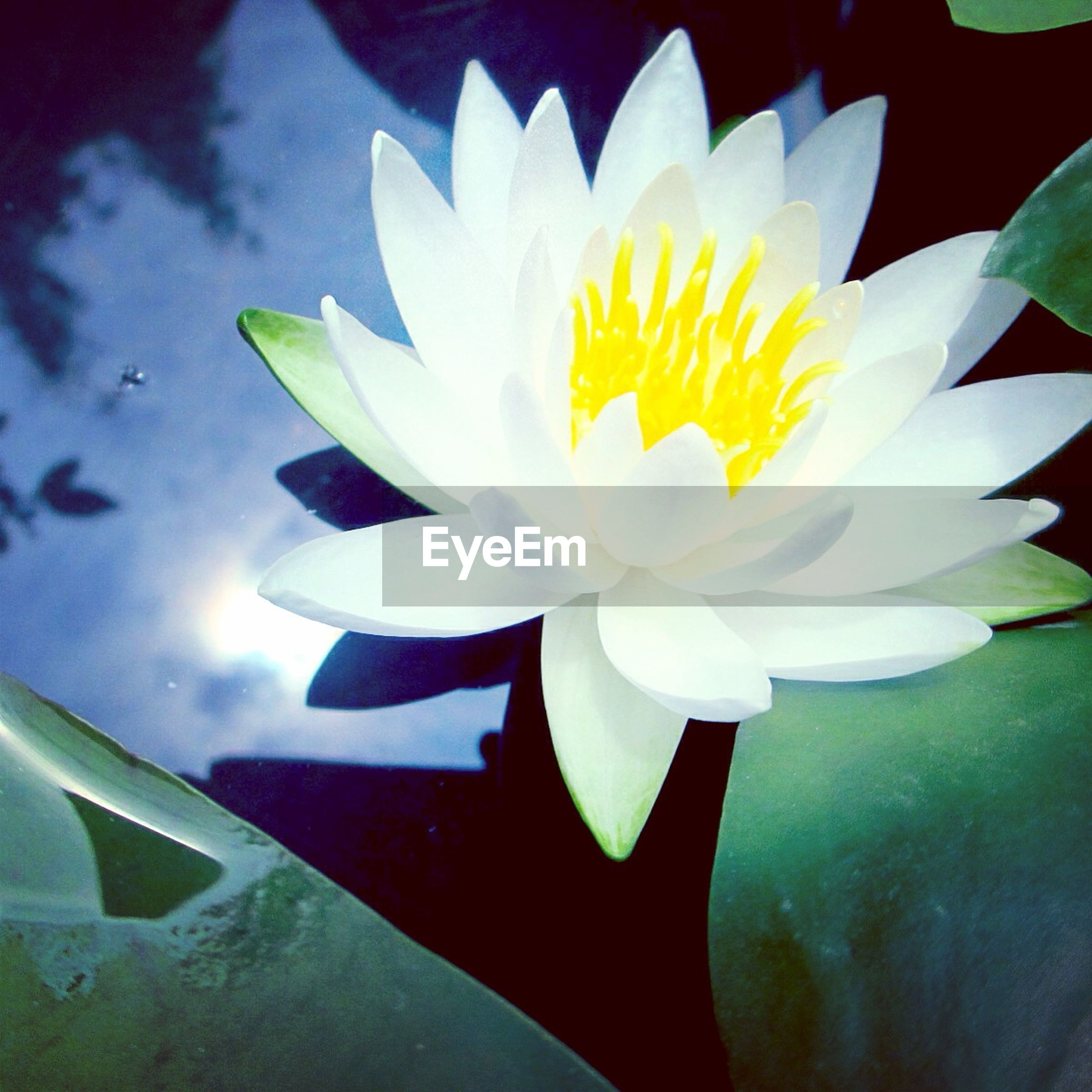 flower, petal, water lily, flower head, freshness, pond, fragility, white color, beauty in nature, single flower, lotus water lily, water, floating on water, nature, close-up, growth, leaf, plant, lake, high angle view