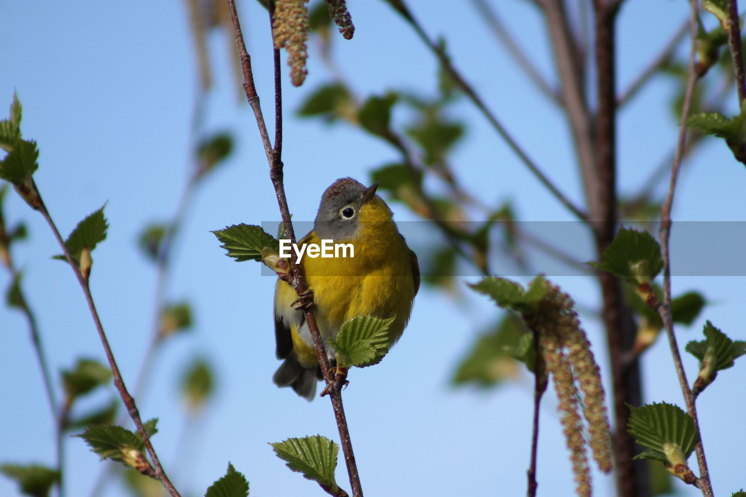 vertebrate, bird, plant, animal themes, animal, animal wildlife, tree, animals in the wild, perching, one animal, low angle view, nature, branch, no people, day, focus on foreground, leaf, plant part, growth, sky, outdoors