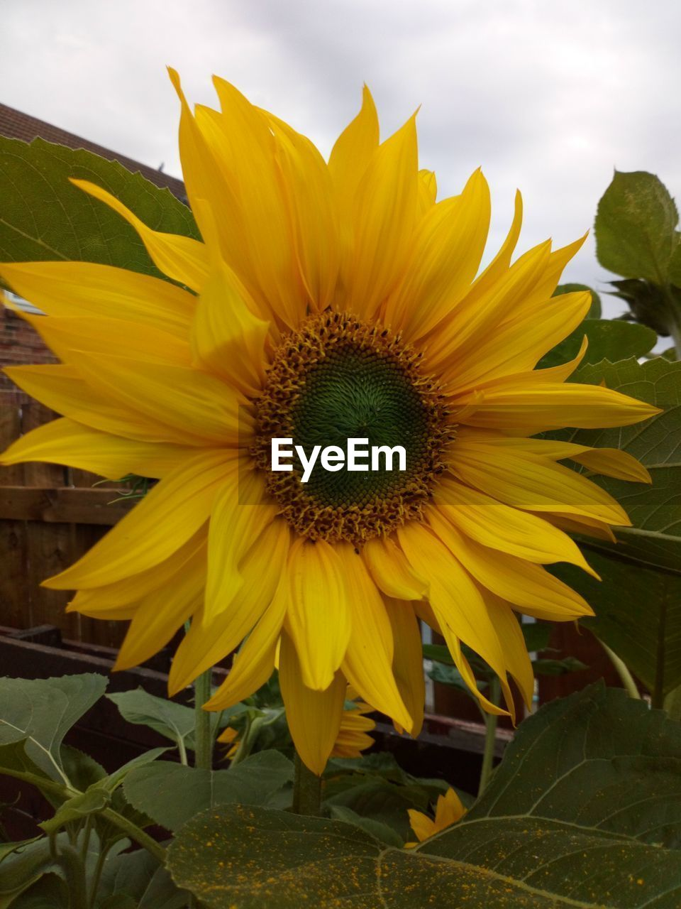 yellow, flower head, growth, petal, plant, vulnerability, flower, fragility, flowering plant, beauty in nature, inflorescence, freshness, sunflower, close-up, nature, pollen, no people, day, sky, plant part, outdoors, gazania, sepal