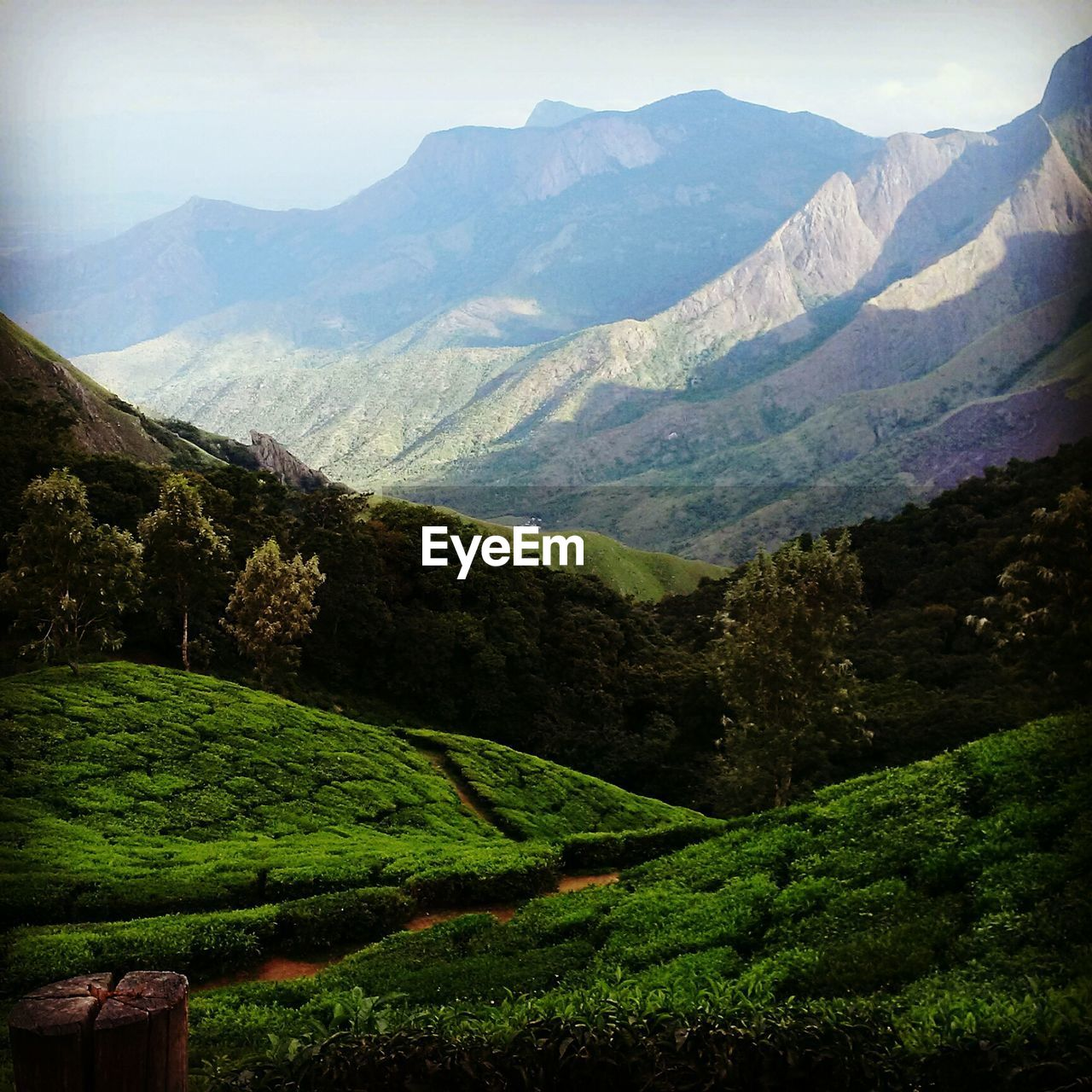 Tea plantation in field with mountain range in background