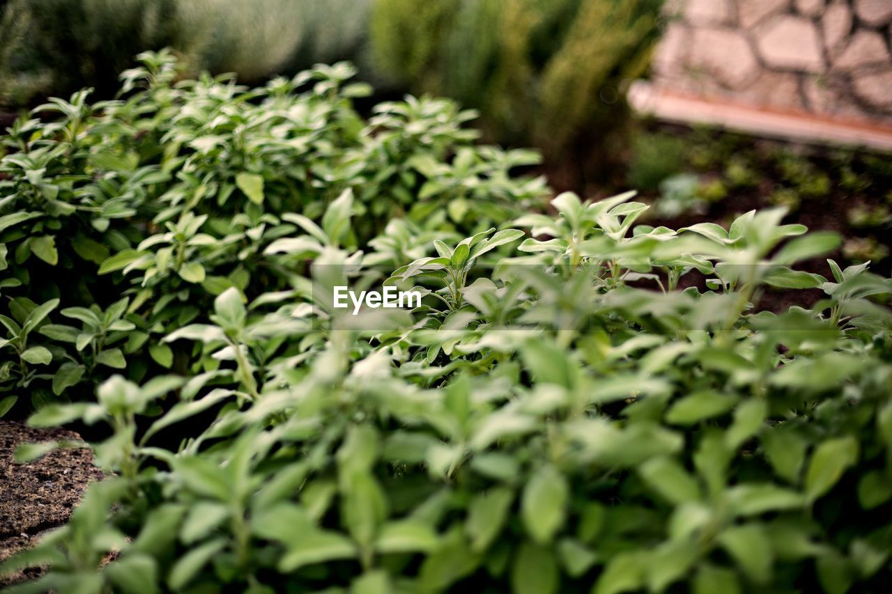 plant, growth, green color, selective focus, beauty in nature, leaf, plant part, no people, nature, day, close-up, outdoors, freshness, field, herb, tranquility, beginnings, land, food and drink, botany